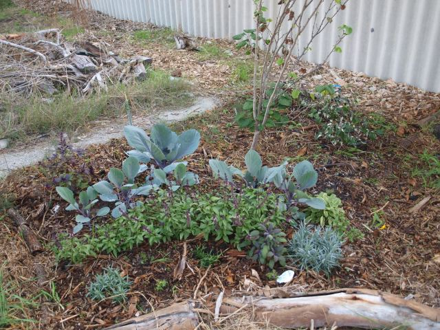 Curving lines of different textures of plants - big flat silver-leafed cabbages, small bushy bright green basil plants, silver narrow-leafed pinks. All jammed together a bit randomly.